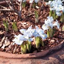 Mini Iris flowering in the lime walk