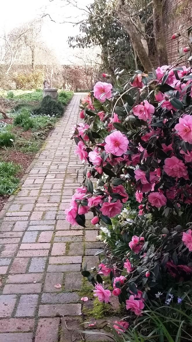 Camellia Sissinghurst gardens visit kent March.jpg