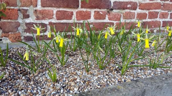 Mini daffodils National Trust Sissinghurst Castle Gardens March 2016 Spring