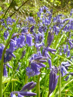 carpets of English bluebells