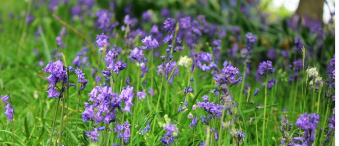 Woodland bluebells header image may kent the little red hen
