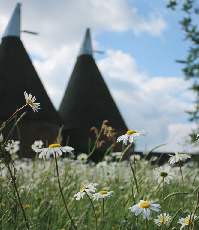Oast houses and oxe-eye daisies en masse