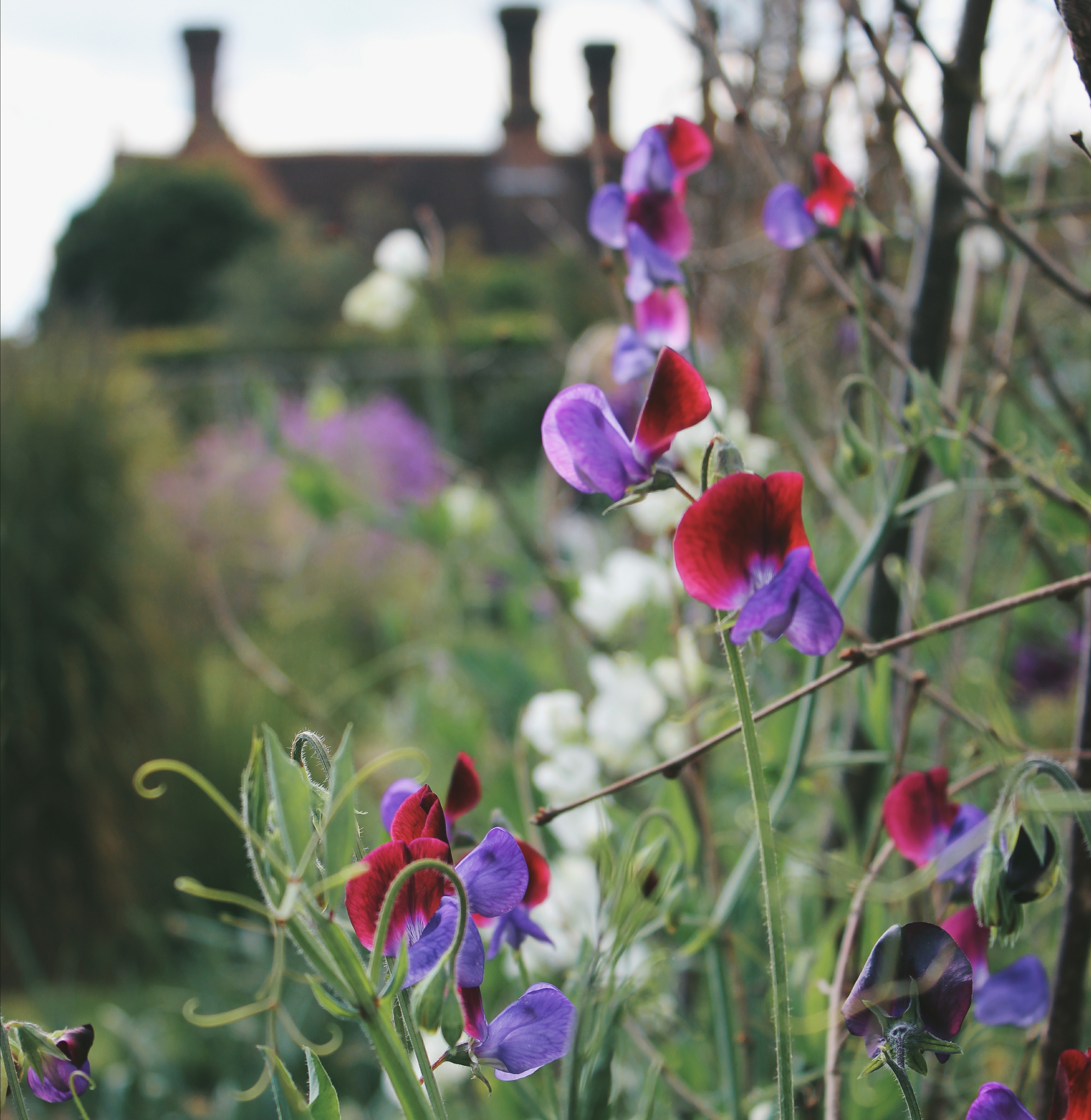 old fashioned sweet peas at Sissinghurst Castle Garden:'En Masse'